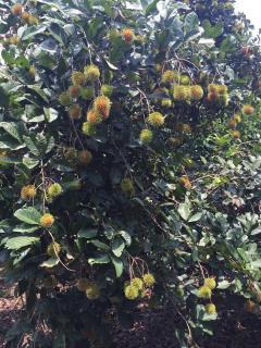 Bán 5000m2 vườn cây ăn trái 2 mặt tiền đường, ngay sân bay
