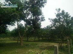 Cần bán 3ha đất thổ cư trồng bưởi tại yên bài ba vì hà nội