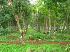 Bán vườn cao su 7 mẫu xã minh tâm gần thị xã bình long