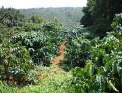 Vườn cafe 9 năm tuổi quảng trực - túy đức - đăk nông