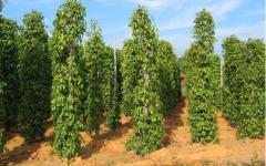 Cần bán 10ha đất nông nghiệp giá rẻ để trồng tiêu ...