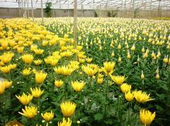 Bán đất nông nghiệp có nhà kính đang trồng bông mt