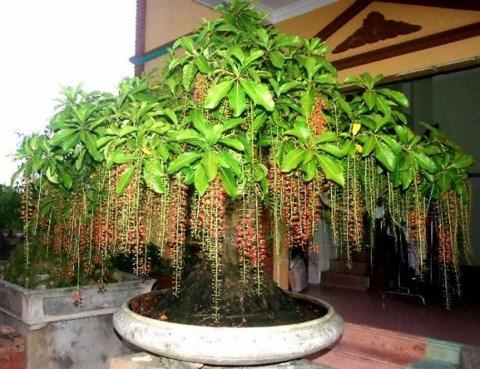 Nên chọn cây xanh tốt, khỏe khoắn để trồng trước cửa nhà