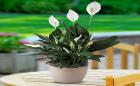 Những loại cây thanh lọc không khí trong nhà