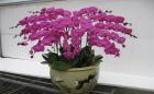 Những loài hoa sẽ mang may mắn đến cho gia chủ khi được bày trong nhà